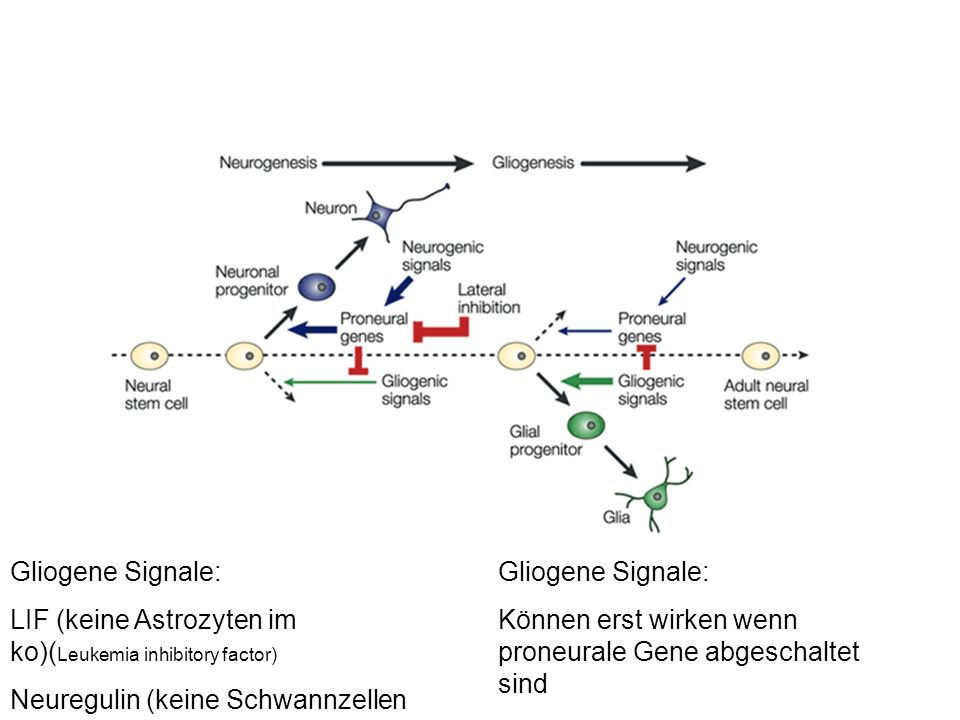 Gliogene Signale: LIF (keine Astrozyten im ko)( Leukemia inhibitory factor) Neuregulin (keine Schwannzellen im ko) Gliogene Signale: Können erst wirke