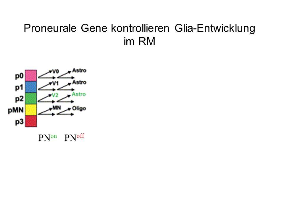 PN on PN off Proneurale Gene kontrollieren Glia-Entwicklung im RM