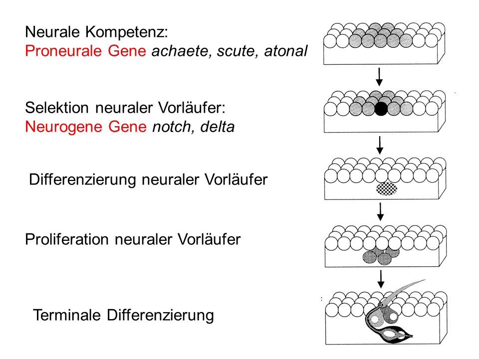 Neurale Kompetenz: Proneurale Gene achaete, scute, atonal Selektion neuraler Vorläufer: Neurogene Gene notch, delta Differenzierung neuraler Vorläufer