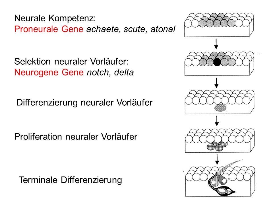 bHLH Transkriptionsfaktoren Proneurale Gene - Struktur Neurale bHLH Transkriptionsfaktoren binden alle an die DNA-Sequenz CANNTG (E-Box)