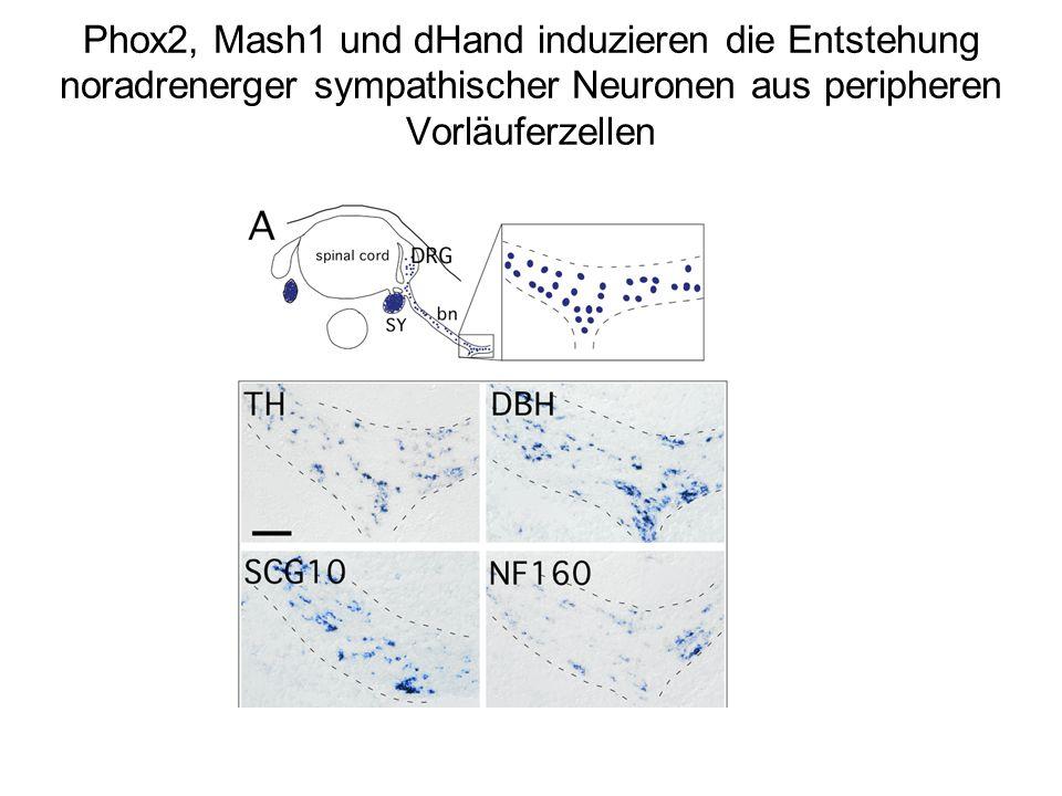 Phox2, Mash1 und dHand induzieren die Entstehung noradrenerger sympathischer Neuronen aus peripheren Vorläuferzellen