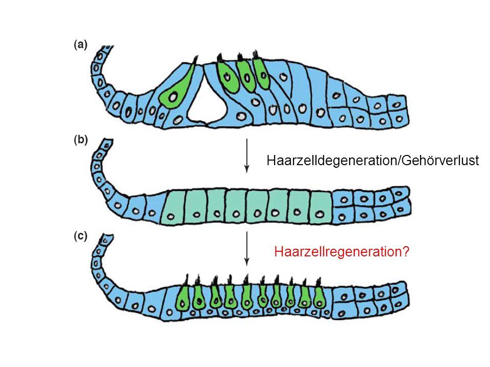 Haarzelldegeneration/Gehörverlust Haarzellregeneration?
