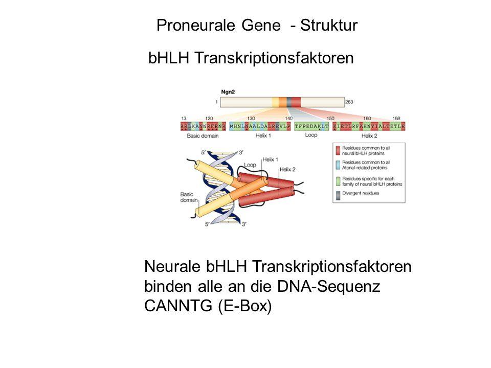 achaeteMash1 scute atonalMath1 biparousNeurogenin1 Neurogenin2 Proneurale Gene - Struktur Homologe bei Drosophila und Vertebraten