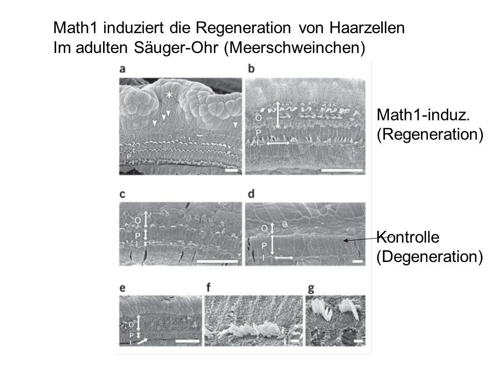 Math1 induziert die Regeneration von Haarzellen Im adulten Säuger-Ohr (Meerschweinchen) Math1-induz. (Regeneration) Kontrolle (Degeneration)