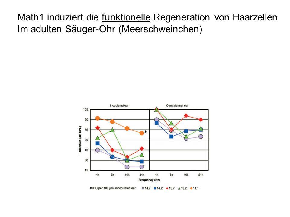 Math1 induziert die funktionelle Regeneration von Haarzellen Im adulten Säuger-Ohr (Meerschweinchen)
