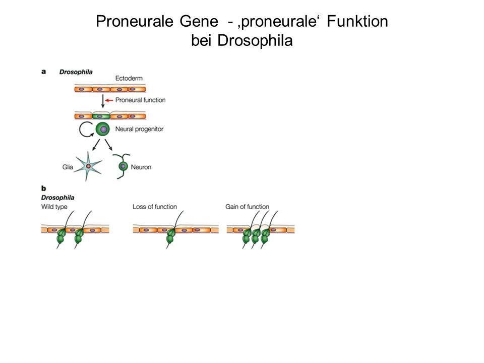 Proneurale Gene - proneurale Funktion bei Drosophila