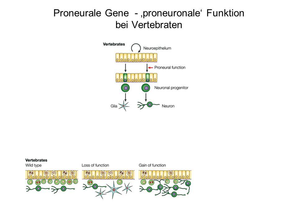 1.Laterale Inhibition, Aktivierung des Notch Signalwegs (neurogener Faktor) Proneurale Gene - Molekularer Mechanismus der proneuralen Funktion