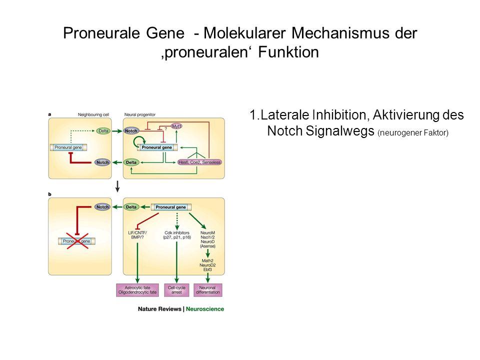 A/P Neurale Induktion Caudalisierung Ektoderm anterior neuralposterior neural noggin FGF Hox-Gene D/V Dorsalisierung anterior und posterior neural shh BMPs Ventralisierung ventral neural dorsal neural HoxC10 für lumbale LMC L shh (3nM) für LMC L