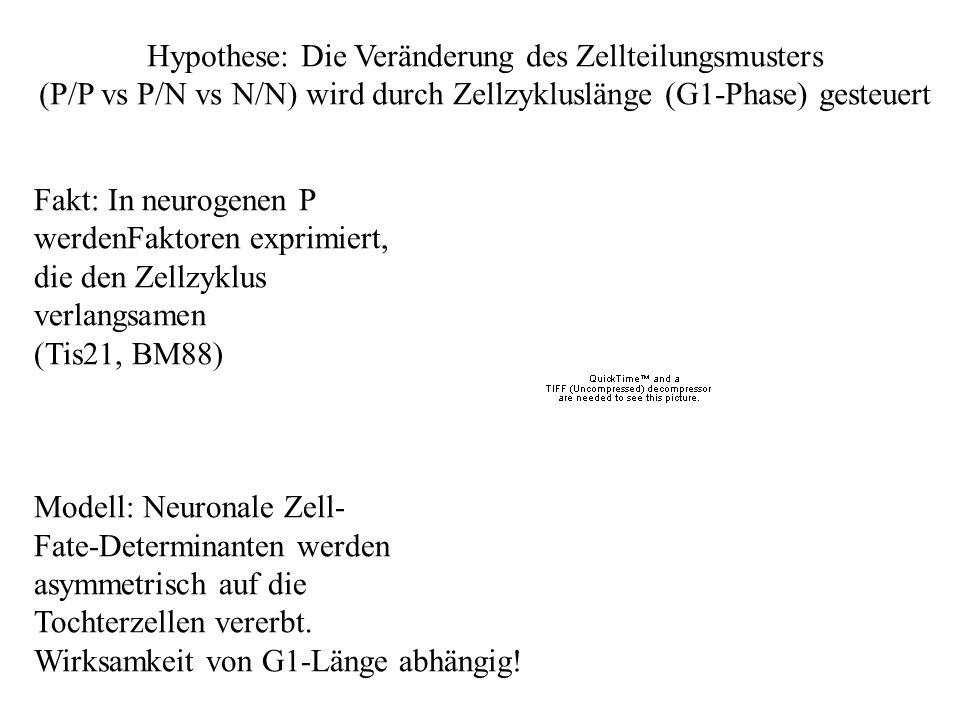 Hypothese: Die Veränderung des Zellteilungsmusters (P/P vs P/N vs N/N) wird durch Zellzykluslänge (G1-Phase) gesteuert Fakt: In neurogenen P werdenFak