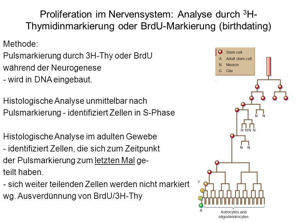Proliferation im Nervensystem: Analyse durch 3 H- Thymidinmarkierung oder BrdU-Markierung (birthdating) Methode: Pulsmarkierung durch 3H-Thy oder BrdU