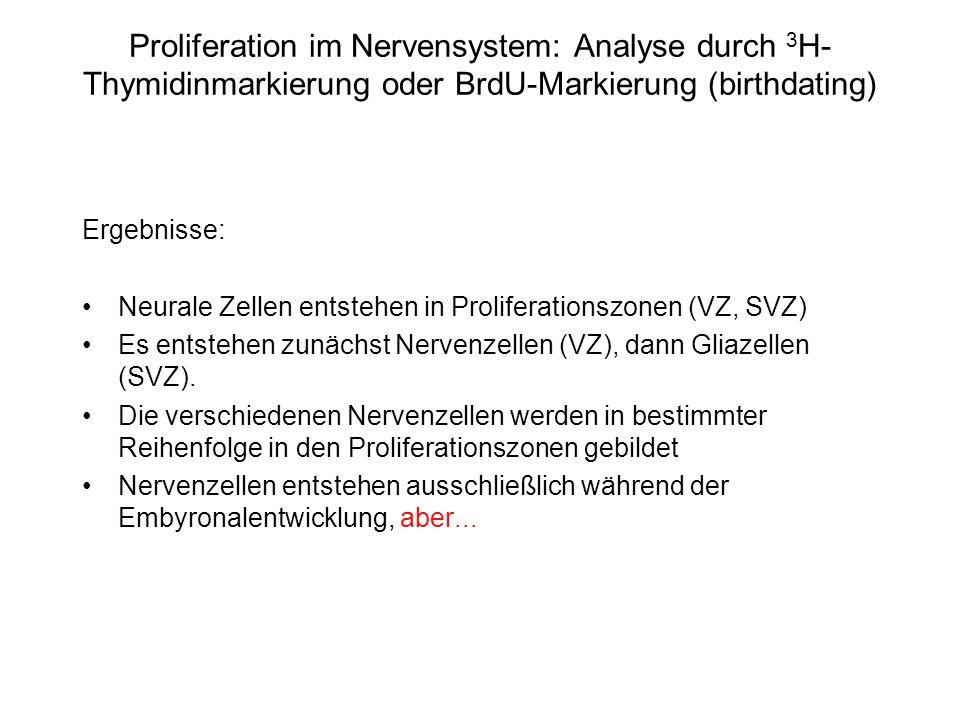 Proliferation im Nervensystem: Analyse durch 3 H- Thymidinmarkierung oder BrdU-Markierung (birthdating) Ergebnisse: Neurale Zellen entstehen in Prolif