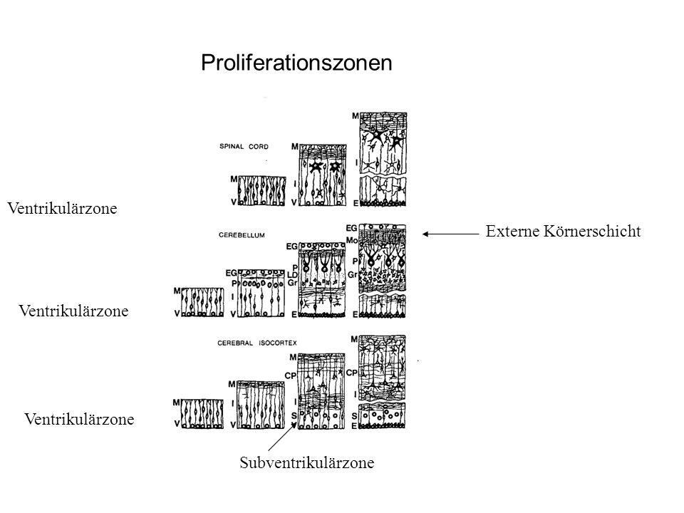 Externe Körnerschicht Ventrikulärzone Subventrikulärzone Proliferationszonen