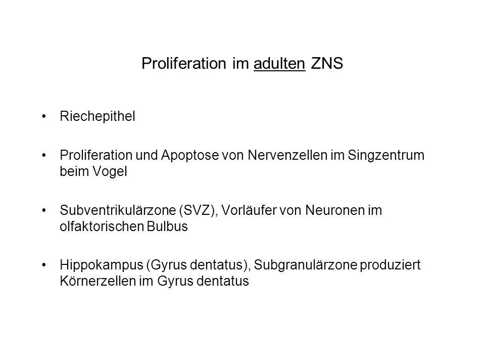 Proliferation im adulten ZNS Riechepithel Proliferation und Apoptose von Nervenzellen im Singzentrum beim Vogel Subventrikulärzone (SVZ), Vorläufer vo
