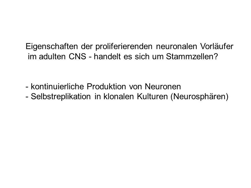 Eigenschaften der proliferierenden neuronalen Vorläufer im adulten CNS - handelt es sich um Stammzellen? - kontinuierliche Produktion von Neuronen - S