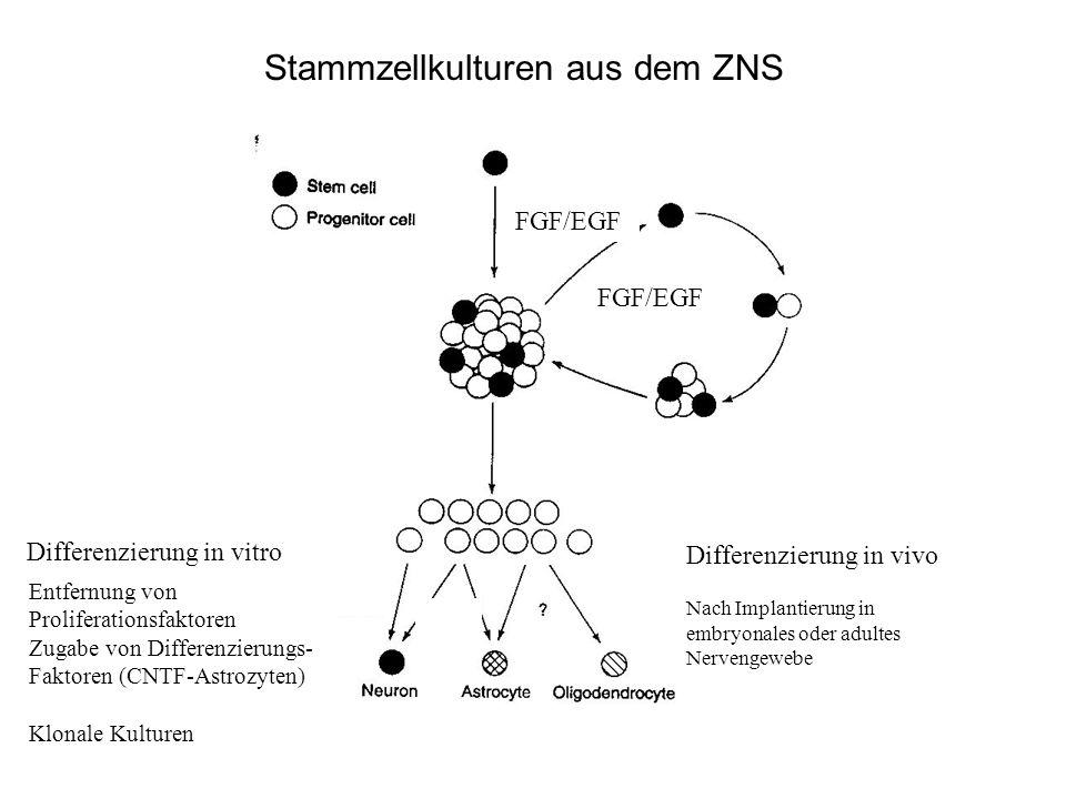 Stammzellkulturen aus dem ZNS FGF/EGF Entfernung von Proliferationsfaktoren Zugabe von Differenzierungs- Faktoren (CNTF-Astrozyten) Klonale Kulturen D