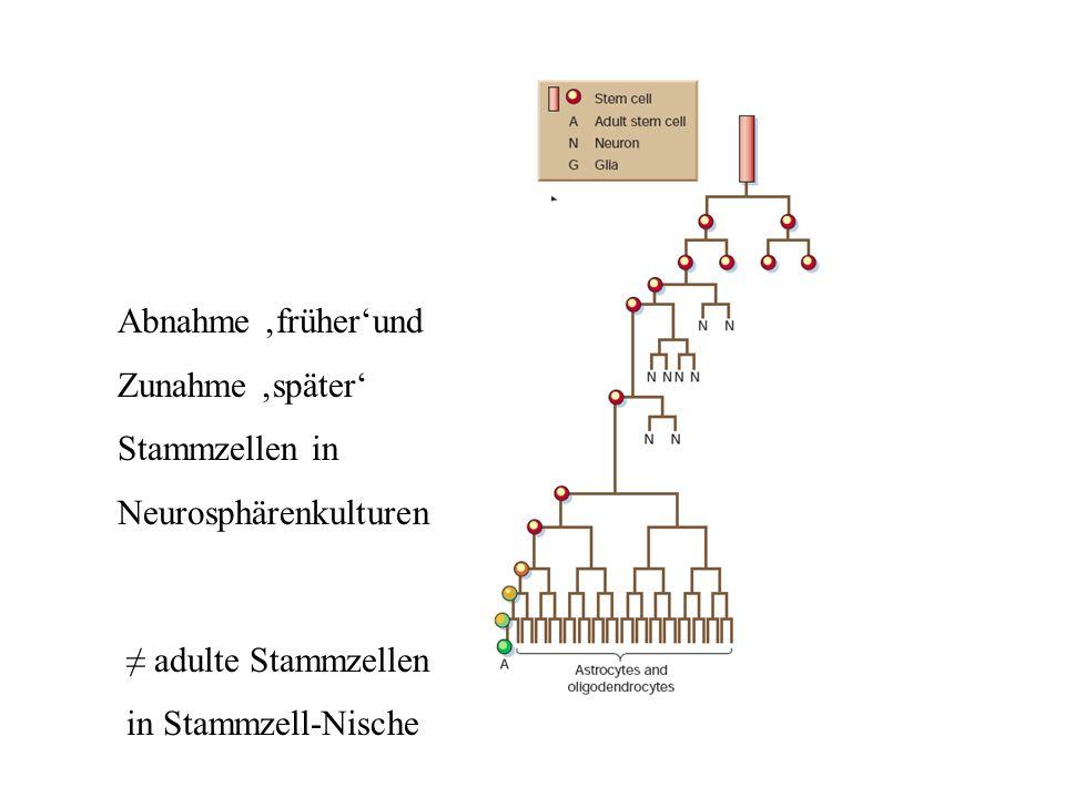Abnahme früherund Zunahme später Stammzellen in Neurosphärenkulturen adulte Stammzellen in Stammzell-Nische