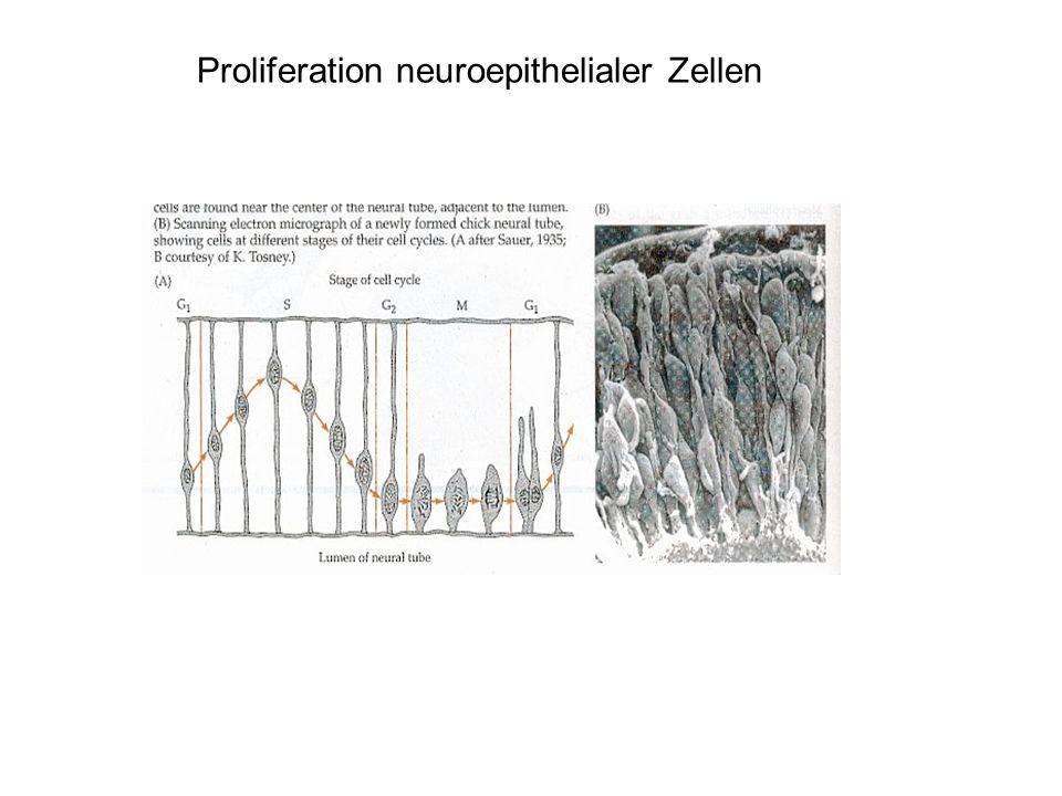 Proliferation neuroepithelialer Zellen