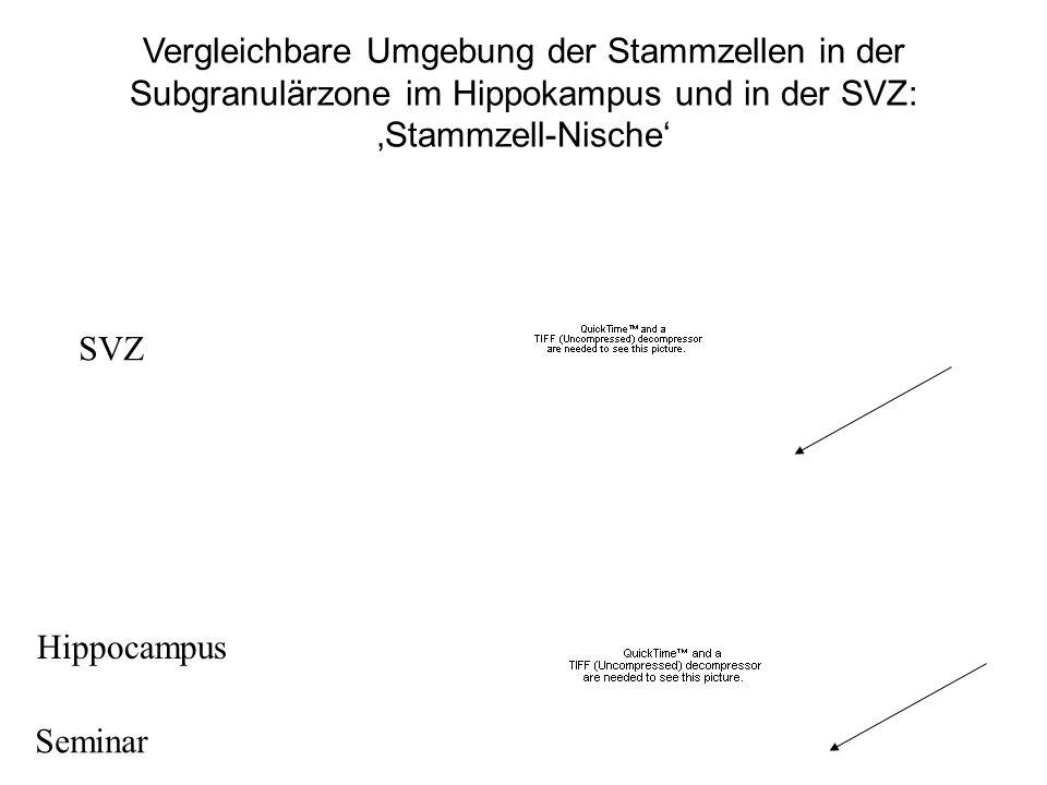 SVZ Hippocampus Seminar Vergleichbare Umgebung der Stammzellen in der Subgranulärzone im Hippokampus und in der SVZ: Stammzell-Nische