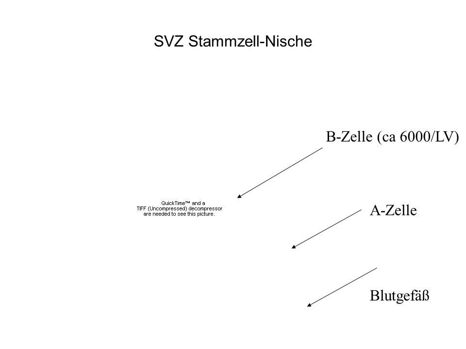SVZ Stammzell-Nische B-Zelle (ca 6000/LV) Blutgefäß A-Zelle