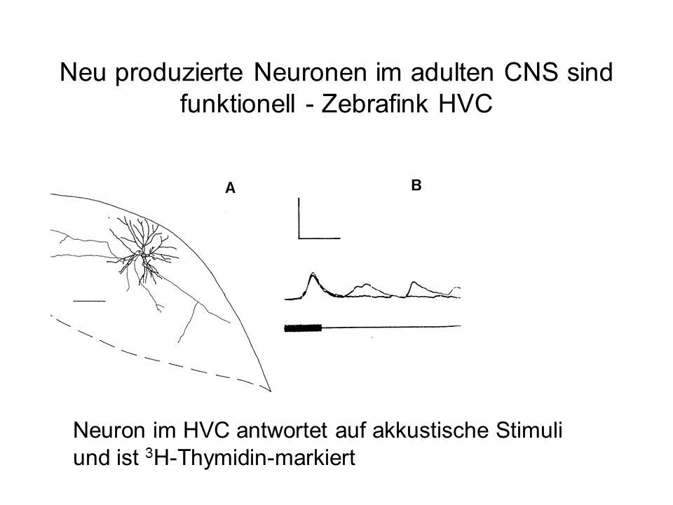 Neu produzierte Neuronen im adulten CNS sind funktionell - Zebrafink HVC Neuron im HVC antwortet auf akkustische Stimuli und ist 3 H-Thymidin-markiert