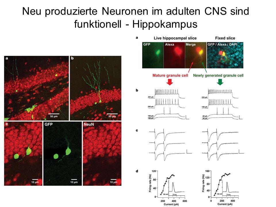 Neu produzierte Neuronen im adulten CNS sind funktionell - Hippokampus