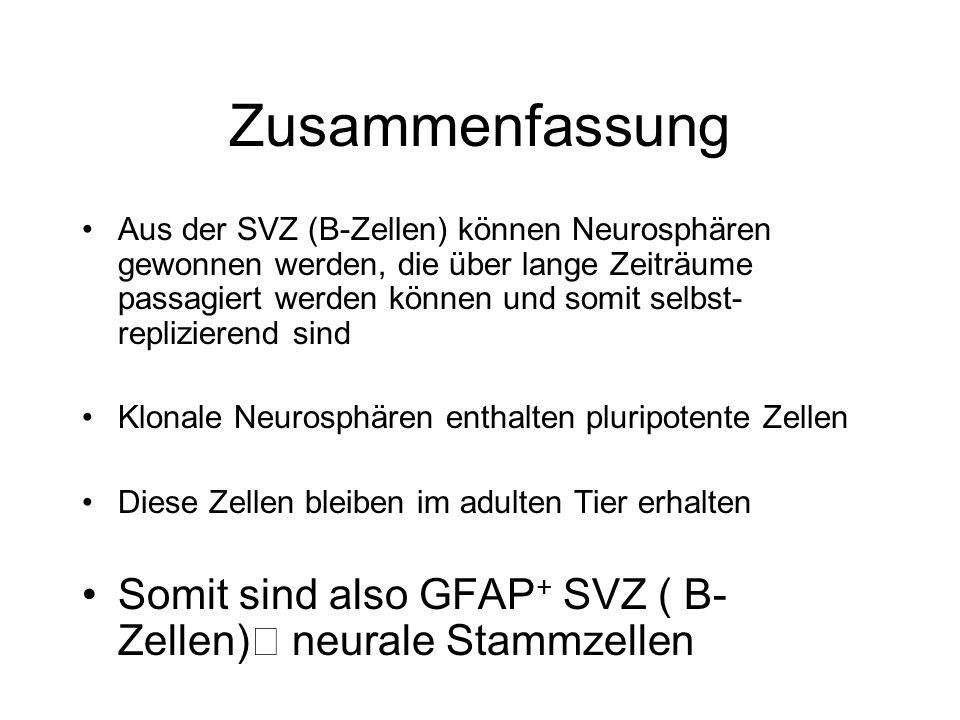 Zusammenfassung Aus der SVZ (B-Zellen) können Neurosphären gewonnen werden, die über lange Zeiträume passagiert werden können und somit selbst- repliz