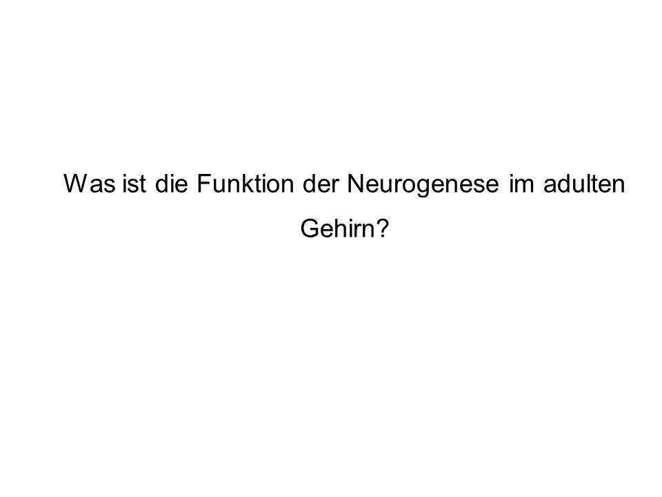 Was ist die Funktion der Neurogenese im adulten Gehirn?