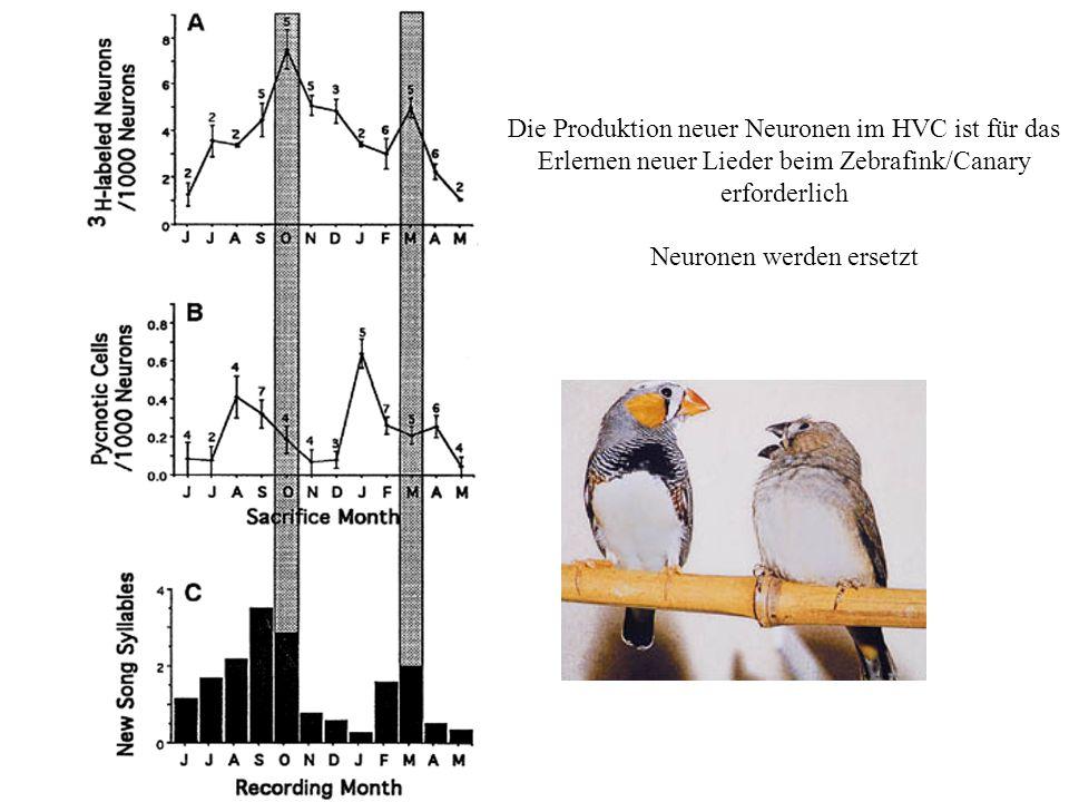 Die Produktion neuer Neuronen im HVC ist für das Erlernen neuer Lieder beim Zebrafink/Canary erforderlich Neuronen werden ersetzt