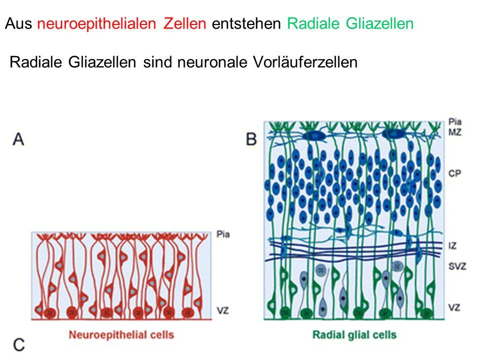 Aus neuroepithelialen Zellen entstehen Radiale Gliazellen Radiale Gliazellen sind neuronale Vorläuferzellen