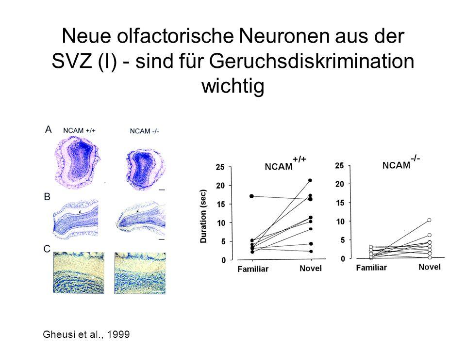Neue olfactorische Neuronen aus der SVZ (I) - sind für Geruchsdiskrimination wichtig Gheusi et al., 1999