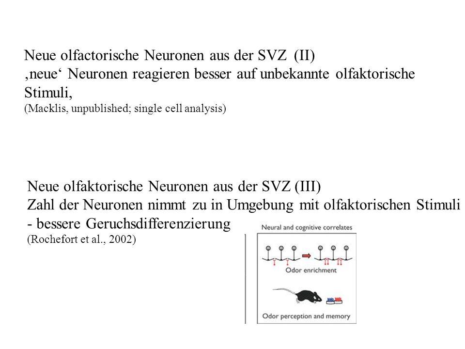 Neue olfactorische Neuronen aus der SVZ (II) neue Neuronen reagieren besser auf unbekannte olfaktorische Stimuli, (Macklis, unpublished; single cell a