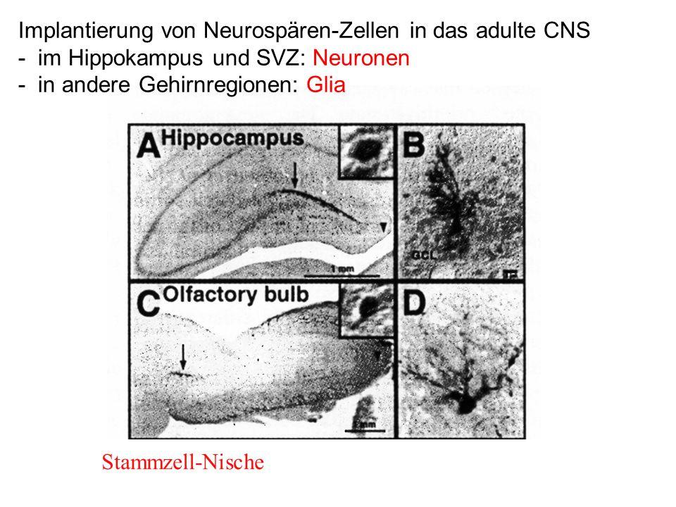Implantierung von Neurospären-Zellen in das adulte CNS - im Hippokampus und SVZ: Neuronen - in andere Gehirnregionen: Glia Stammzell-Nische