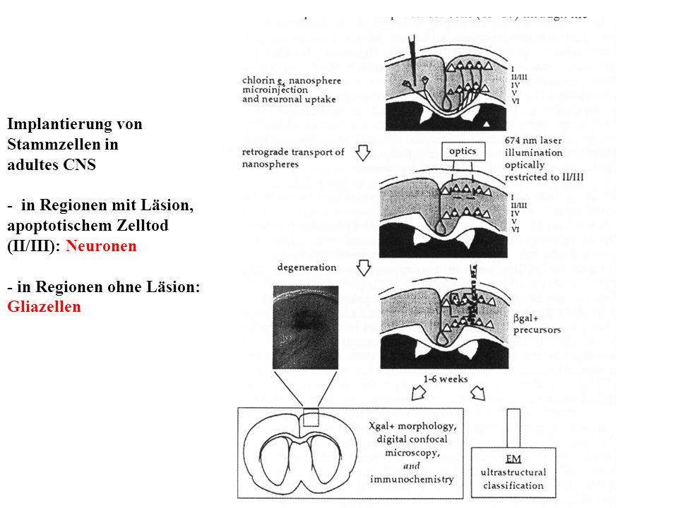 Implantierung von Stammzellen in adultes CNS - in Regionen mit Läsion, apoptotischem Zelltod (II/III): Neuronen - in Regionen ohne Läsion: Gliazellen