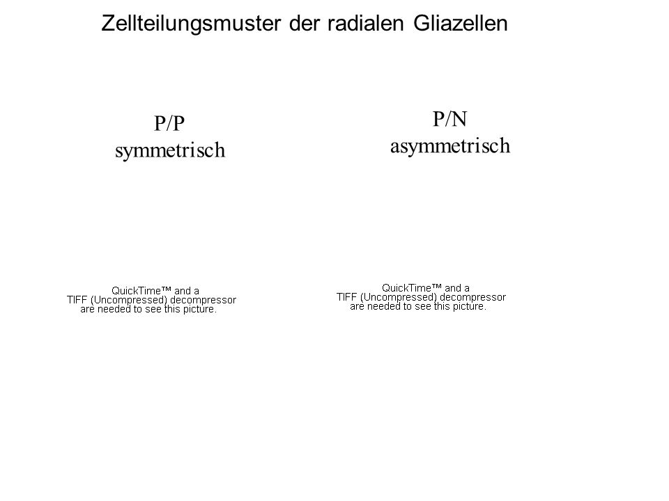 P/P symmetrisch P/N asymmetrisch Zellteilungsmuster der radialen Gliazellen