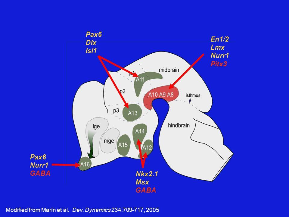 Modified from Marín et al. Dev. Dynamics 234:709-717, 2005 Pax6 Dlx Isl1 En1/2 Lmx Nurr1 Pitx3 Pax6 Nurr1 GABA Nkx2.1 Msx GABA