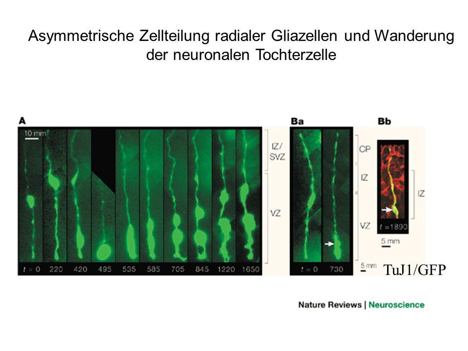 TuJ1/GFP Asymmetrische Zellteilung radialer Gliazellen und Wanderung der neuronalen Tochterzelle