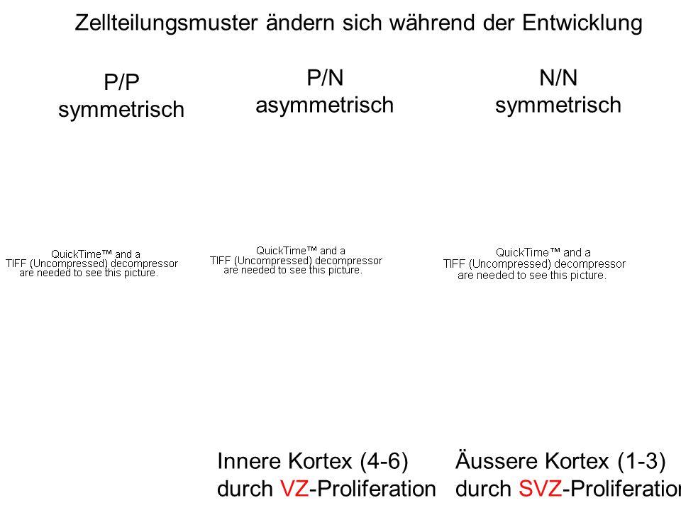 Innere Kortex (4-6) durch VZ-Proliferation Äussere Kortex (1-3) durch SVZ-Proliferation P/P symmetrisch P/N asymmetrisch N/N symmetrisch Zellteilungsm