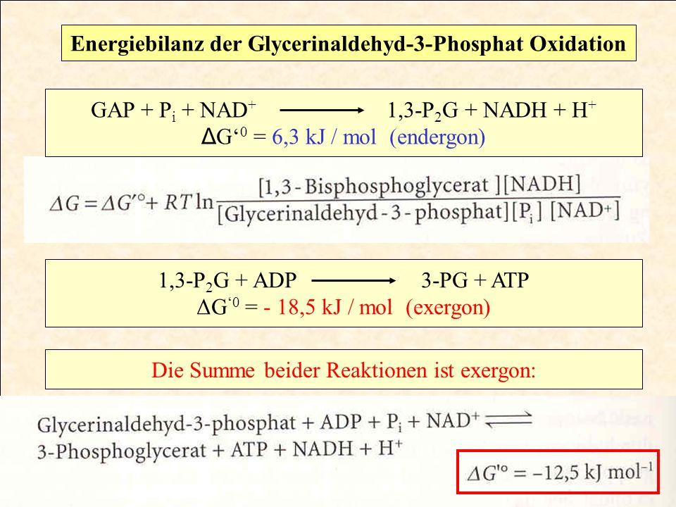 GAP + P i + NAD + 1,3-P 2 G + NADH + H + Δ G 0 = 6,3 kJ / mol (endergon) 1,3-P 2 G + ADP 3-PG + ATP ΔG 0 = - 18,5 kJ / mol (exergon) Die Summe beider