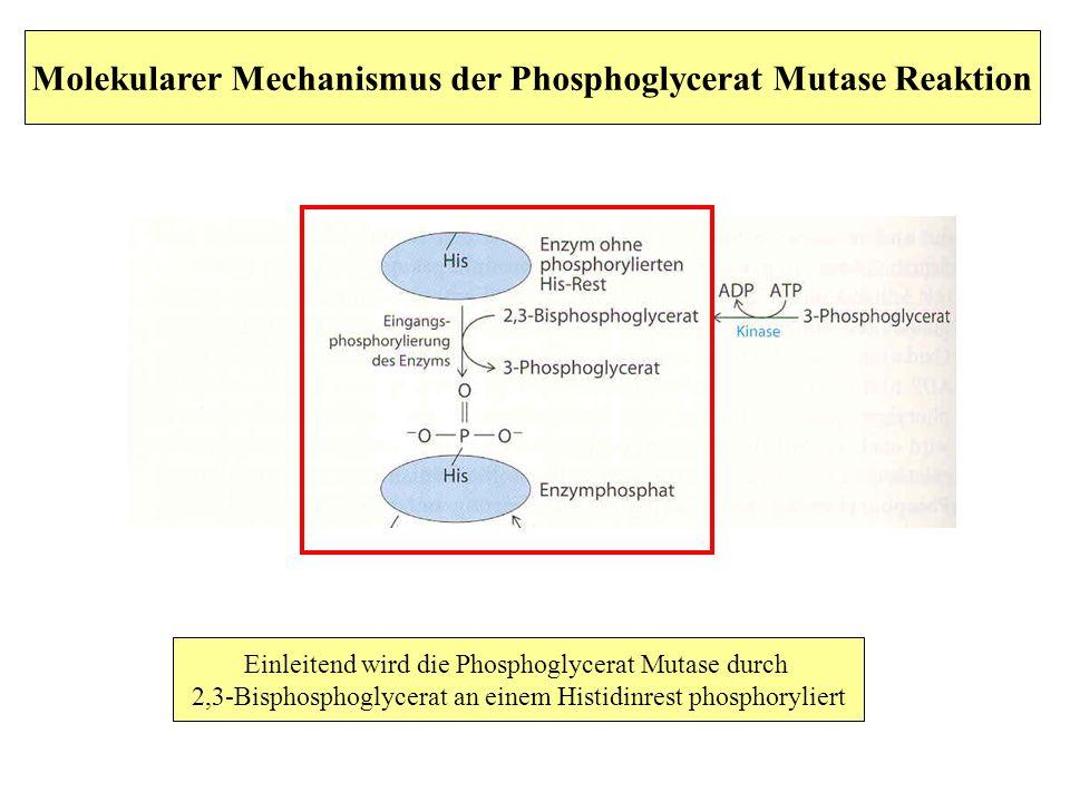 Molekularer Mechanismus der Phosphoglycerat Mutase Reaktion Einleitend wird die Phosphoglycerat Mutase durch 2,3-Bisphosphoglycerat an einem Histidinr