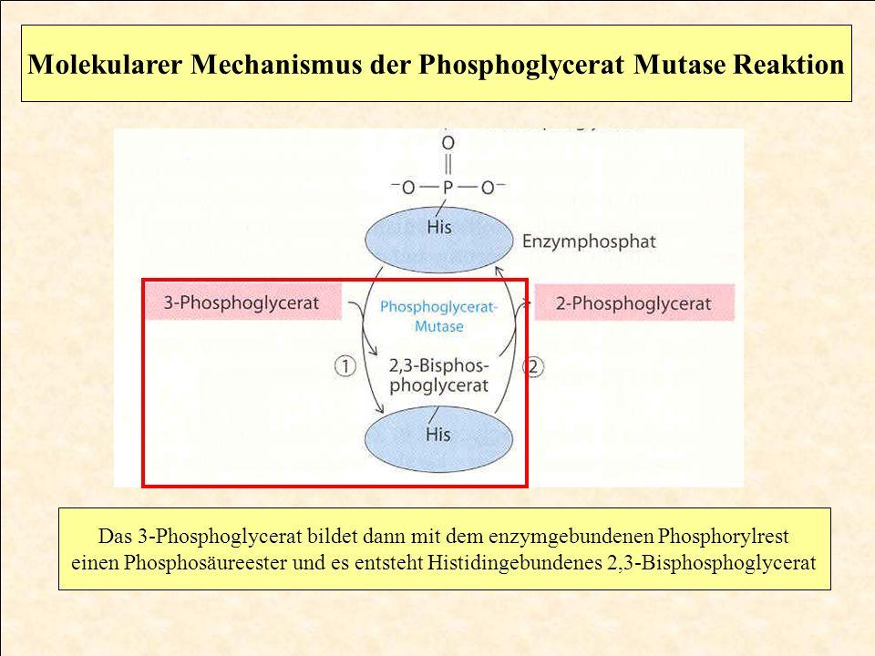 Molekularer Mechanismus der Phosphoglycerat Mutase Reaktion Das 3-Phosphoglycerat bildet dann mit dem enzymgebundenen Phosphorylrest einen Phosphosäur