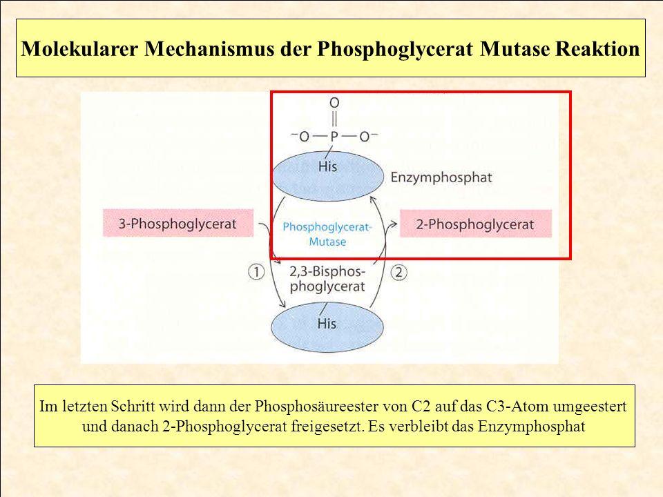 Molekularer Mechanismus der Phosphoglycerat Mutase Reaktion Im letzten Schritt wird dann der Phosphosäureester von C2 auf das C3-Atom umgeestert und d