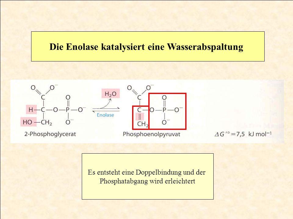 Die Enolase katalysiert eine Wasserabspaltung Es entsteht eine Doppelbindung und der Phosphatabgang wird erleichtert