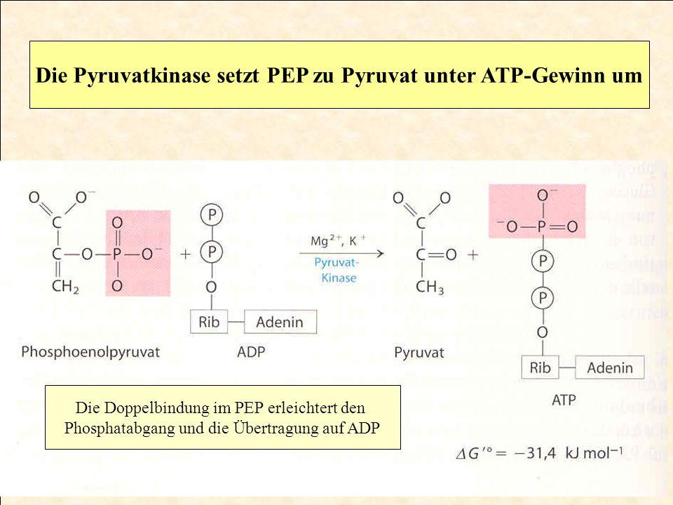 Die Doppelbindung im PEP erleichtert den Phosphatabgang und die Übertragung auf ADP Die Pyruvatkinase setzt PEP zu Pyruvat unter ATP-Gewinn um