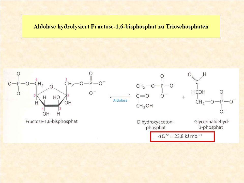 Triosephosphatisomerase isomerisiert die Triosehosphate