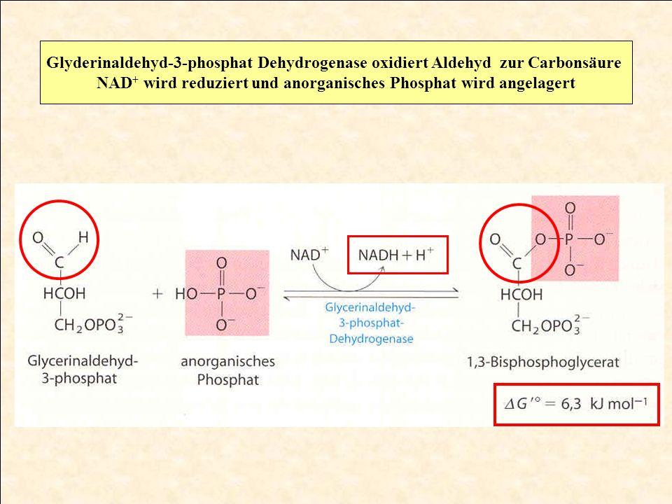 Glyderinaldehyd-3-phosphat Dehydrogenase oxidiert Aldehyd zur Carbonsäure NAD + wird reduziert und anorganisches Phosphat wird angelagert