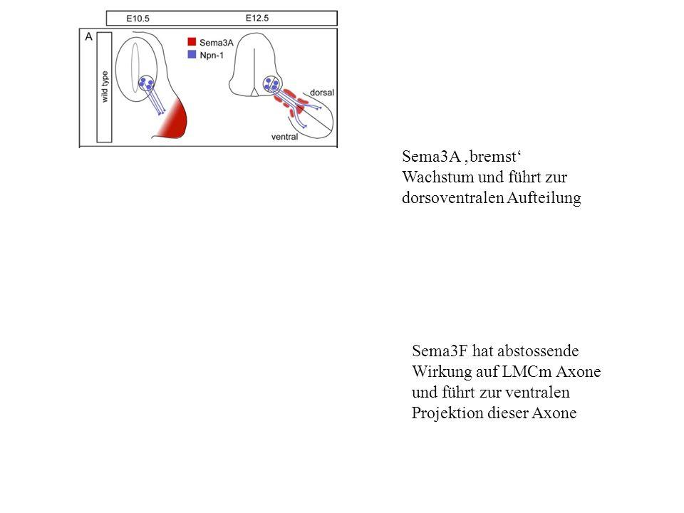 Sema3A bremst Wachstum und führt zur dorsoventralen Aufteilung Sema3F hat abstossende Wirkung auf LMCm Axone und führt zur ventralen Projektion dieser