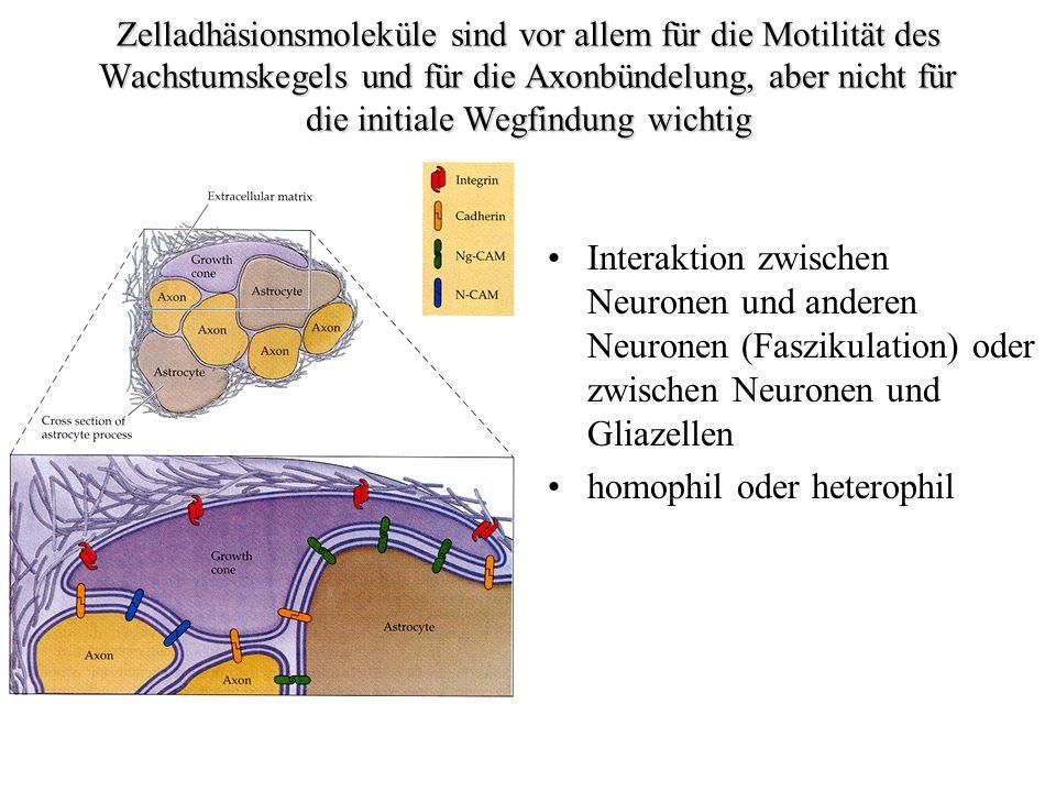 Zelladhäsionsmoleküle sind vor allem für die Motilität des Wachstumskegels und für die Axonbündelung, aber nicht für die initiale Wegfindung wichtig I