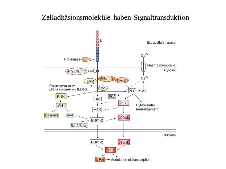 Zelladhäsionsmoleküle haben Signaltransduktion