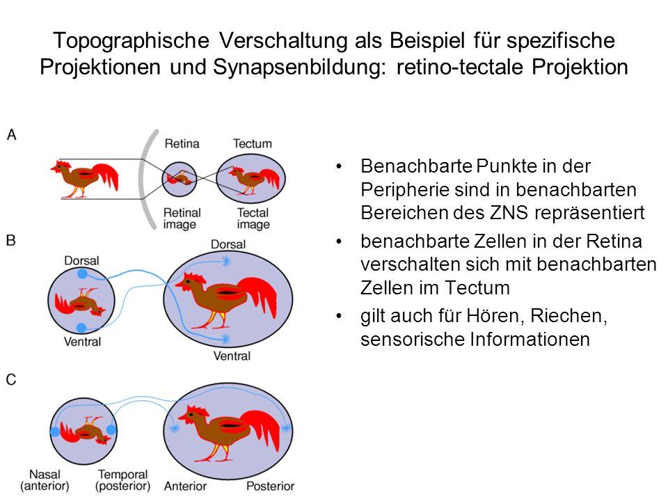 Topographische Verschaltung als Beispiel für spezifische Projektionen und Synapsenbildung: retino-tectale Projektion Benachbarte Punkte in der Periphe