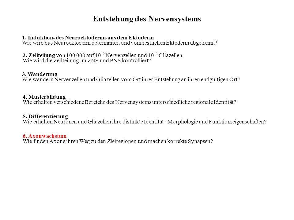 Entstehung des Nervensystems 1. Induktion- des Neuroektoderms aus dem Ektoderm Wie wird das Neuroektoderm determiniert und vom restlichen Ektoderm abg